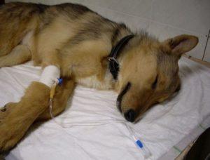 Как передается коронавирус у кошек, собак: какое животное переносчик, прививки