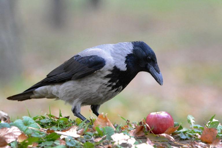 Передается ли коронавирус птицам, болеют ли вирусом голуби